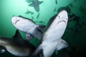 Shark feeding frenzy representing SEO link building service organisations